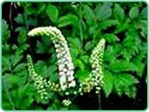 how to take black cohosh to induce period